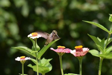 Candia Conservation Commission calendar: July photo. Hummingbird by April Holmes